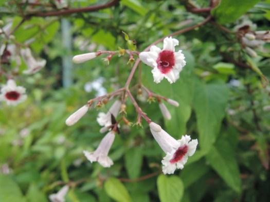 小さくてかわいらしいヘクソカズラの花