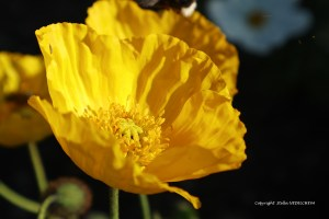Coquelicot jaune au soleil