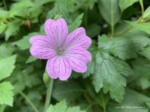 Petite fleur des champs de près