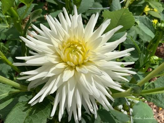 Dahlia blanche