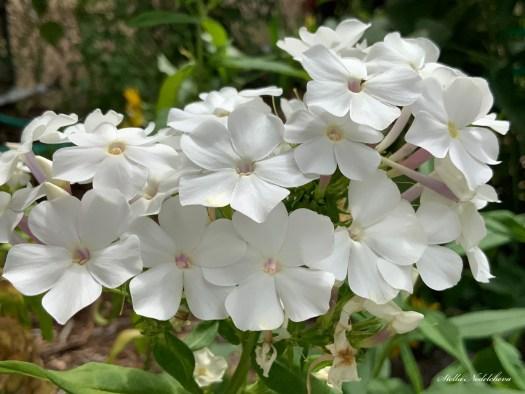 Phlox - fleurs blanches