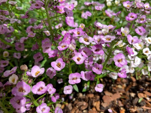 Parterre de petites fleurs violettes