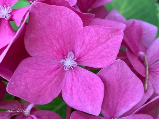 Hortensias roses de près