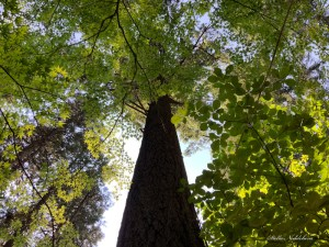 Feuillage d'un grand arbre