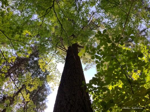 tronc et feuillage d'un très haut arbre