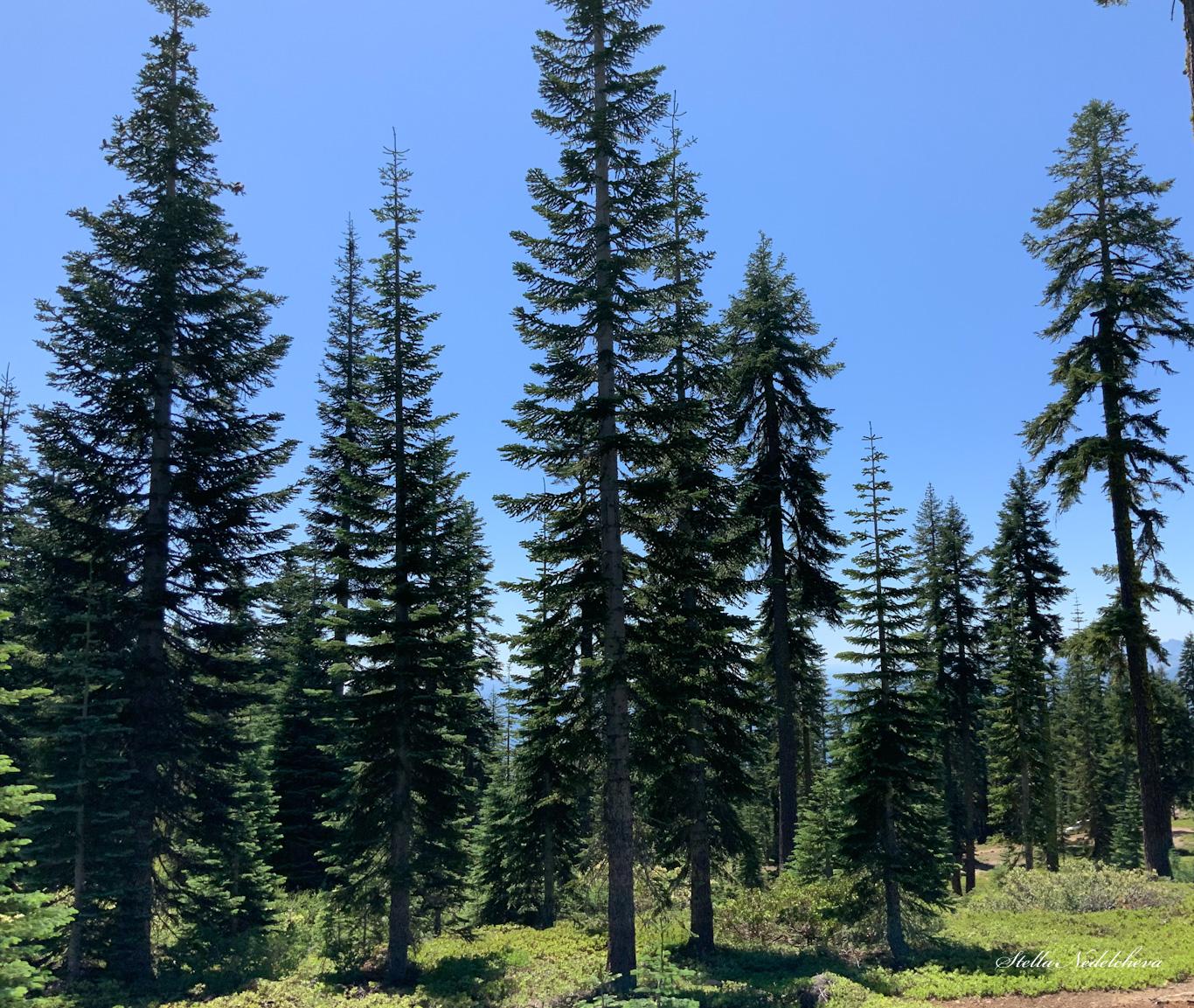 Forêt de conifères en Californie