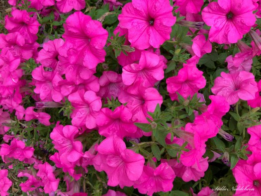 Petunias roses