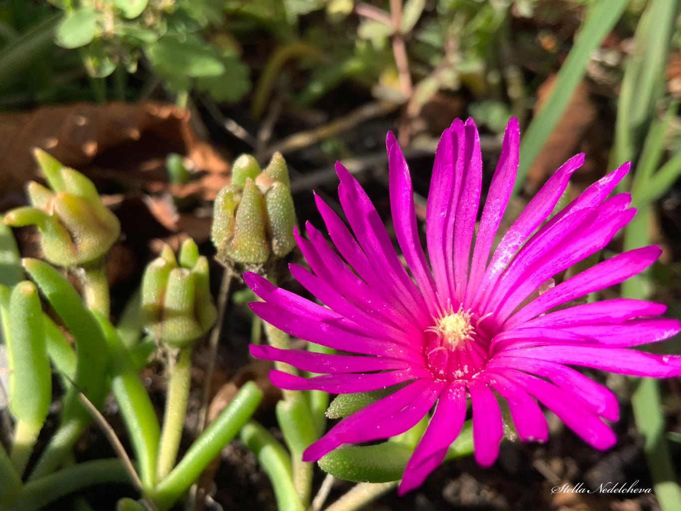 Fleur étoilée rose fuchsia