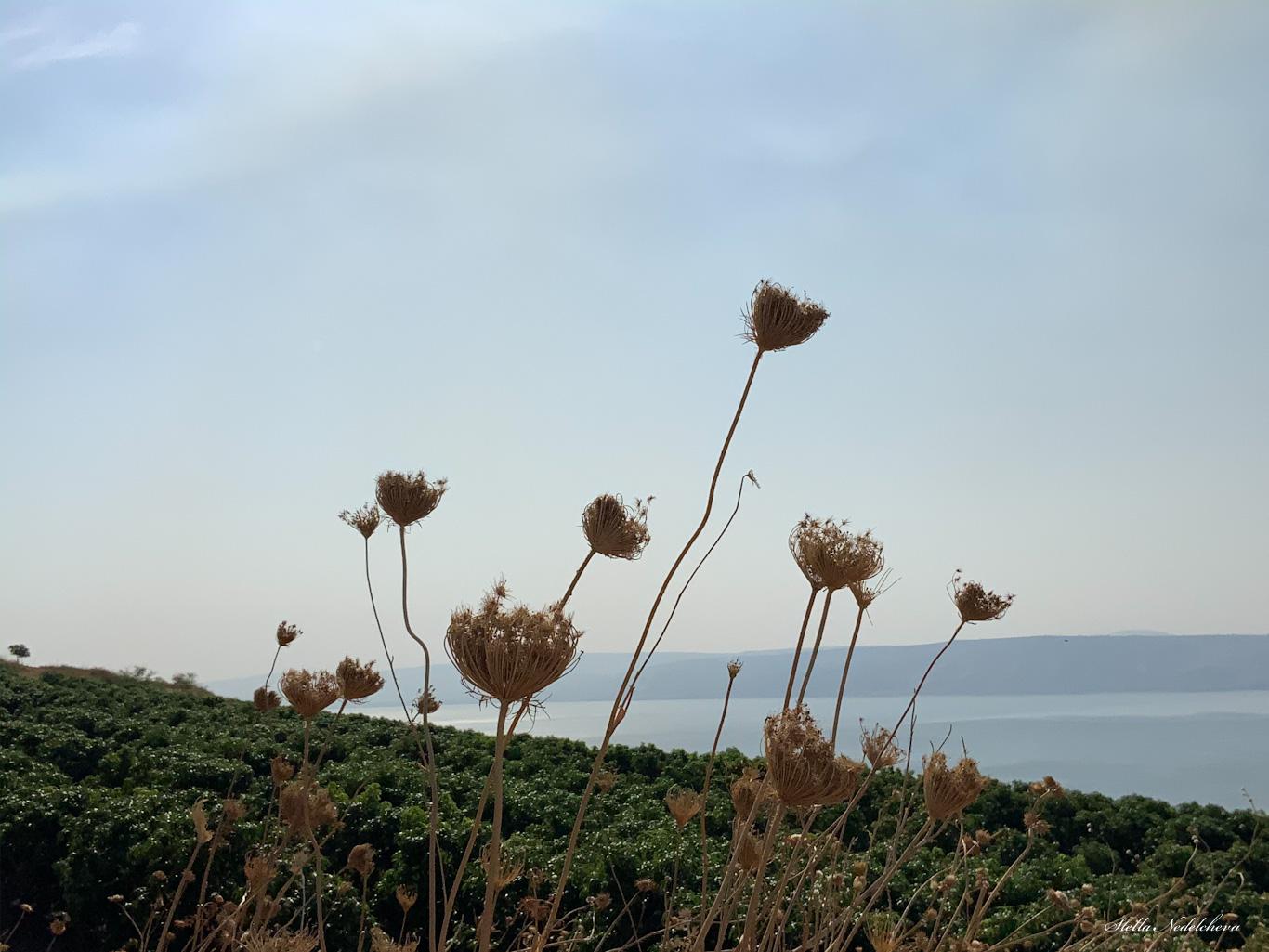 Fleurs sèches dans les environs de la mer de Galilée