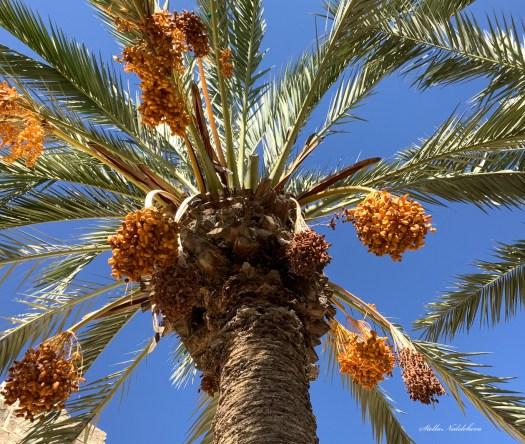 Dattier plein de fruits sur le fond d'un ciel bleu