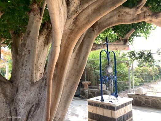 Un arbre immense à côté d'un puit ( Israël )