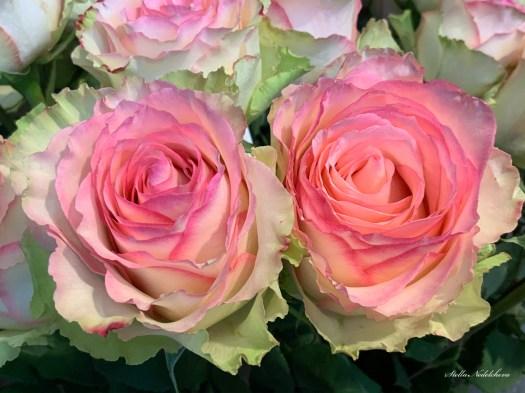 Deux belles roses roses