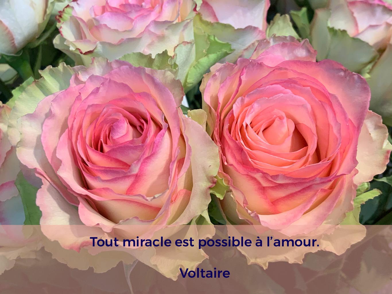 Citation de Voltaire, sur un fond de deux roses roses