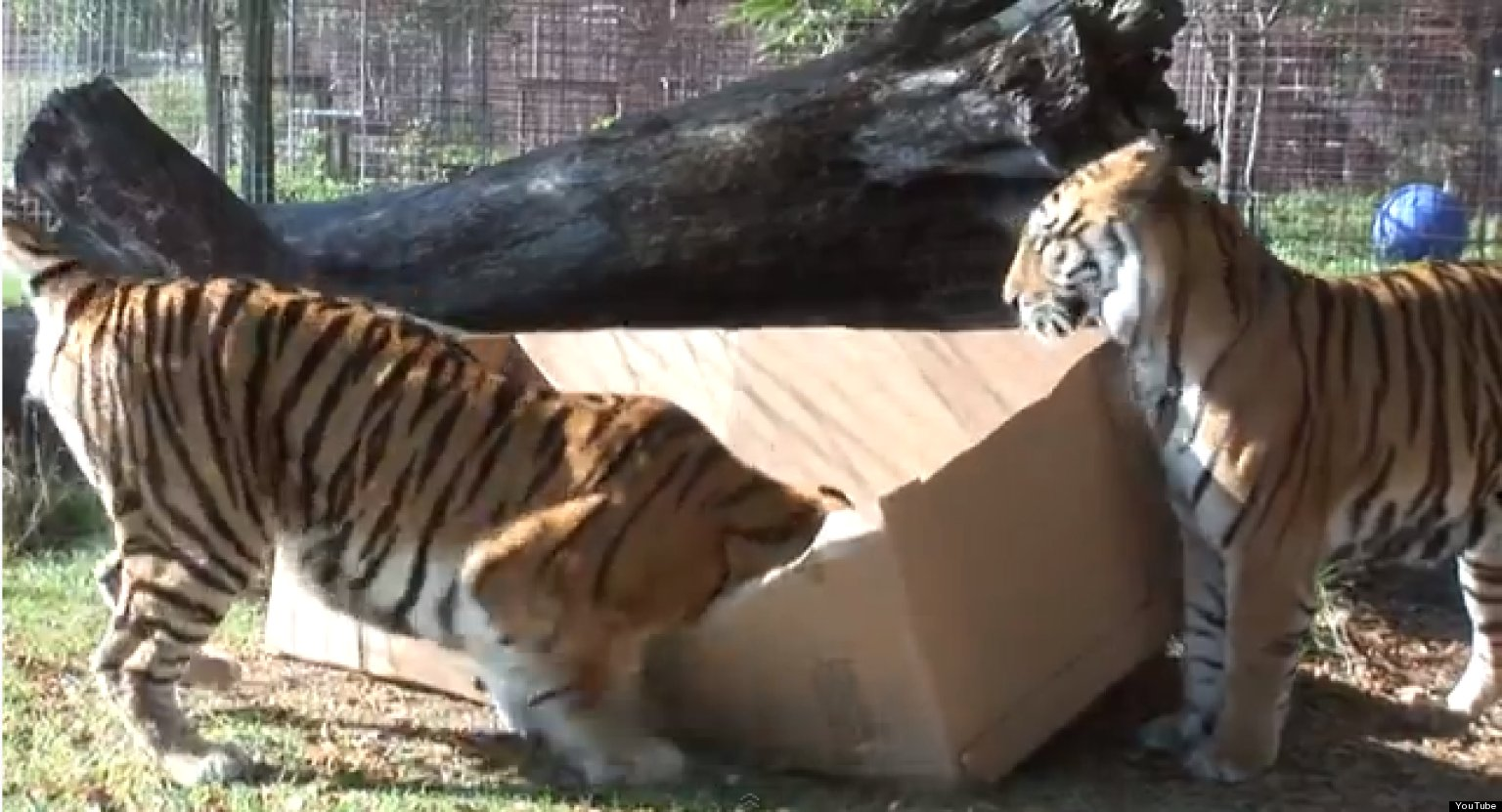 Big Cats Like Boxes Too VIDEO  HuffPost