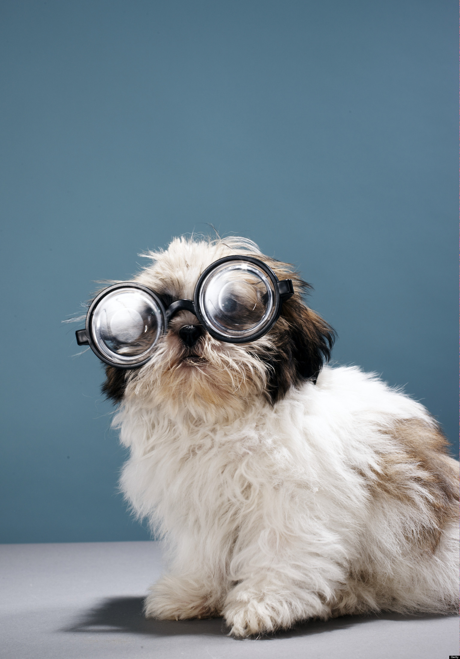 Cute Fluffy Dogs Wallpaper Does Your Dog Need Glasses Huffpost