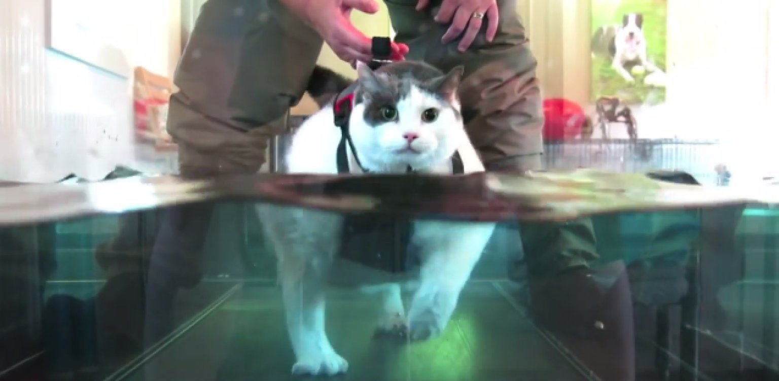 Buddha The Fat Cat Loses Weight On A Water Treadmill