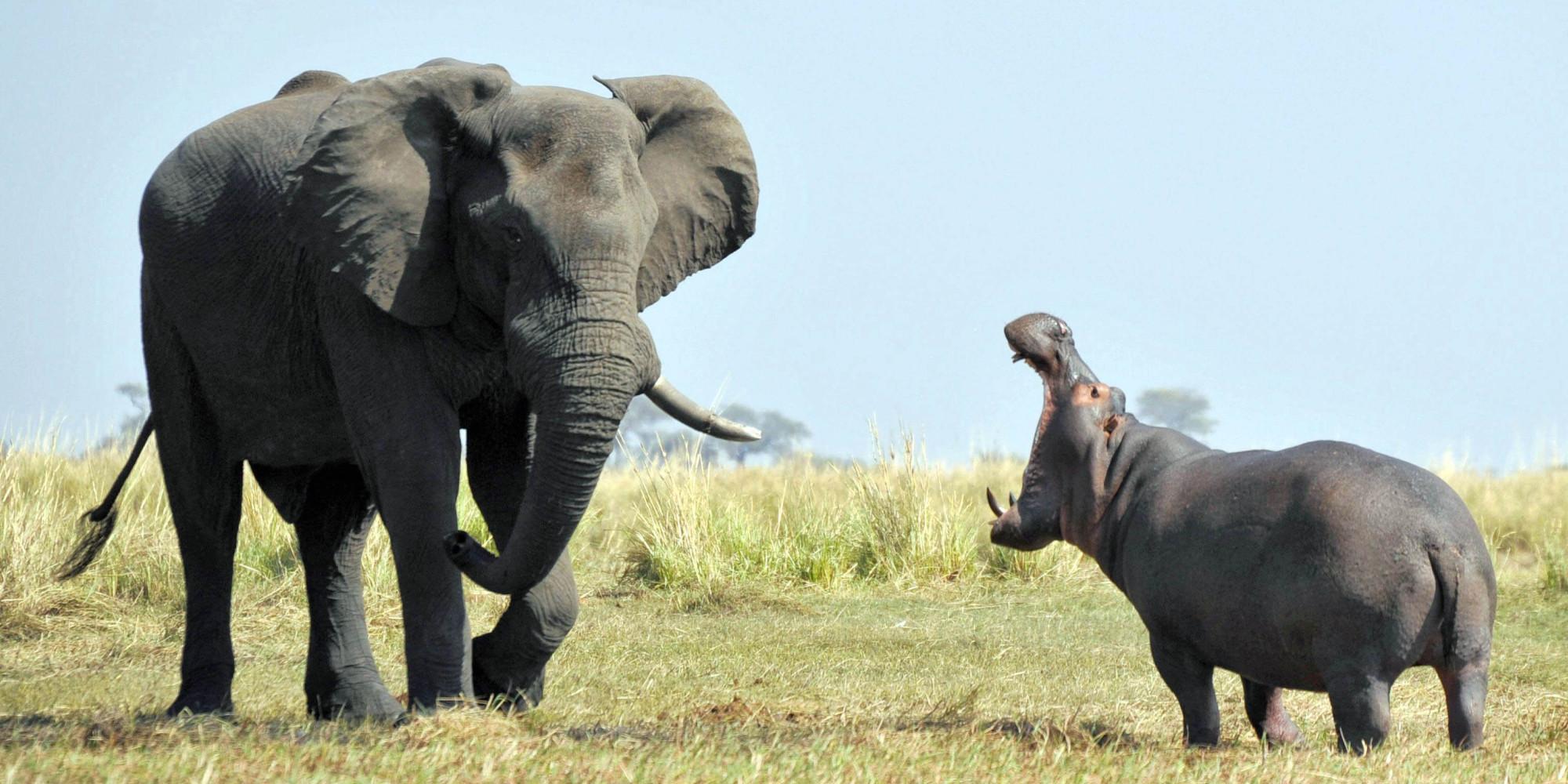 elephant and hippo disagree, face off at botswana's chobe river