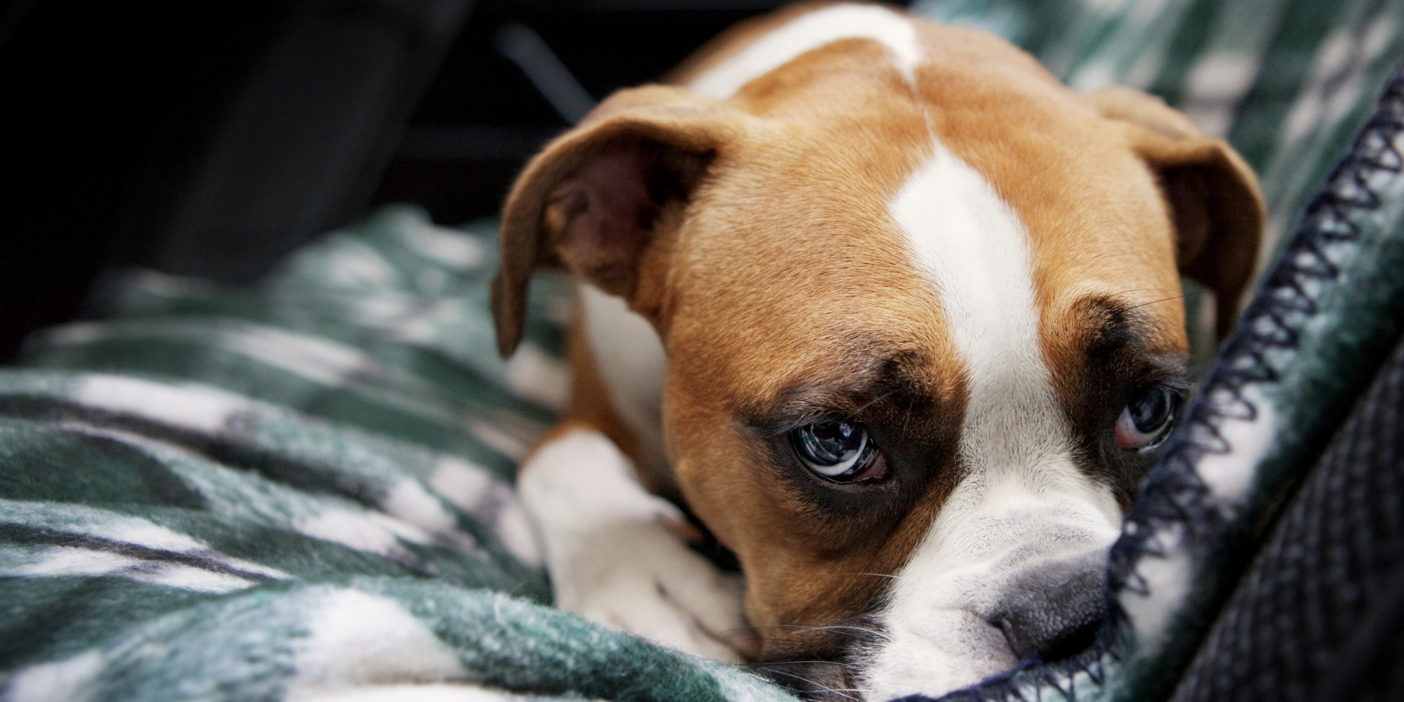 Cute Beagle Puppy Wallpaper Who Gets The Pets In A Divorce What You Need To Consider