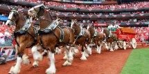 Budweiser Cans Clydesdales Edm Zombies And Jay
