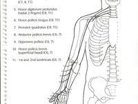 17 Best images about spine, spinal cord and innervation on
