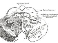 1000+ images about Brain Stem / Εγκεφαλικό στέλεχος on