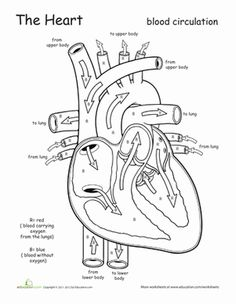 Circulatory system, Worksheets and Heart on Pinterest