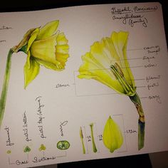 Diagram Of Dissected Lilly Daffodil Dissected I M Having A Girl And I M Naming Her
