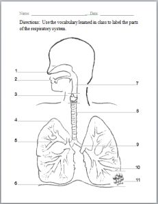 1000+ ideas about Respiratory System on Pinterest