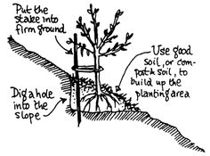 what to plant on a slope | Tree