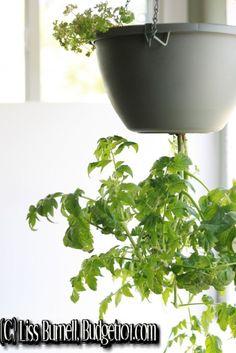 How To Grow Tomatoes Grow Tomatoes And How To Grow On Pinterest