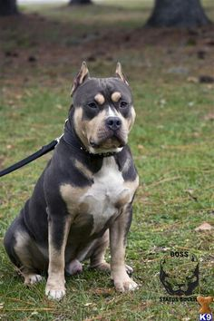 American Bullies Pitbulls And Girls Wallpaper Animals On Pinterest Great Danes Long Hair Chihuahua