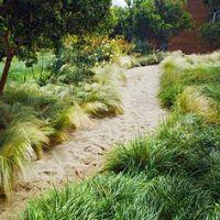 Korean velvet grass (no mow grass), Zoysia Tenuifolia ...
