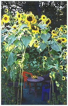 The Sunflower House And Morning Glories Full Grown Sunflower