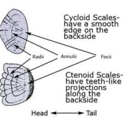 Clam Dissection Diagram 1966 Corvette Ignition Wiring Clam: The Head Of Clam, Located Within Shell, Is Rudimentary, Without Eyes Or Antennae ...