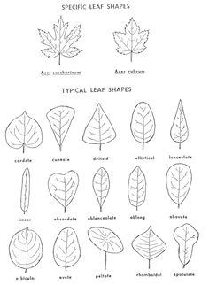 1000+ images about leaf classification on Pinterest