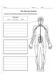 Nervous System: Here is a free nervous system worksheet or