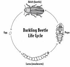 Mealworm (Darkling Beetle) Life Cycle Wheel Craftivity