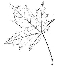 Sugar Maple Leaf Sketch Maple Leaves Coloring Pages. To