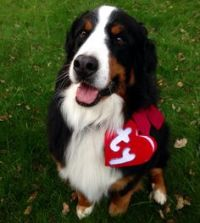 Quite possibly the cutest Bernese Mountain Dog Halloween ...