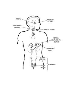 medical image of endocrine system; major hormones and