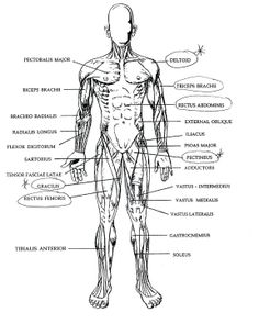 Printable Flashcard on Anatomy of muscles: Free Flash