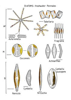 complicated water cycle diagram electrical ladder software 3d diatom pollen | algae pinterest