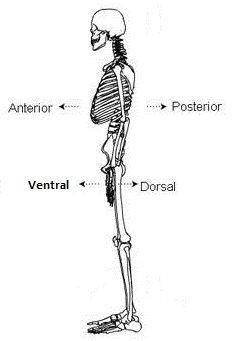 Posición anatómica ANTERIOR / VENTRAL. Hacia el frente del