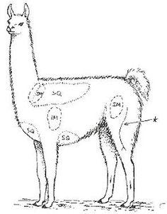 Diseases of Llamas and Alpacas: Llamas and Alpacas: Merck