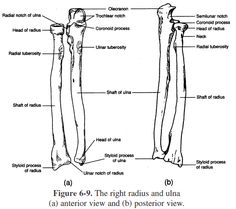 The phalanges (singular: phalanx ) are bones in the toes
