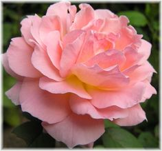 1000 images about Hybrid Tea Roses on Pinterest  Hybrid tea roses Tea roses and Roses