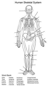 1000+ images about Skeletal System on Pinterest