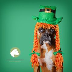 Cute Wallpaper St Pattys Day Pupppy 1000 Images About Boxers And More On Pinterest Boxers