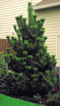 white fir abies concolor - beautiful