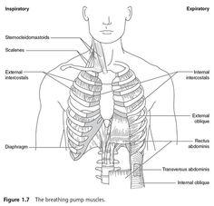 Anatomy & Physiology Respiratory System » larynx muscles